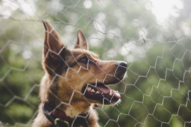 a German Shepard behind a fence