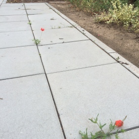 poppies defying paving stones; 100 words about friendship