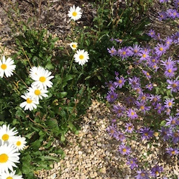 white and purple daisies, 100 words about tolerance
