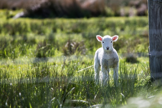 three lines about lambs and showers