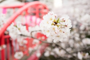 three line tales week 12: cherry blossom