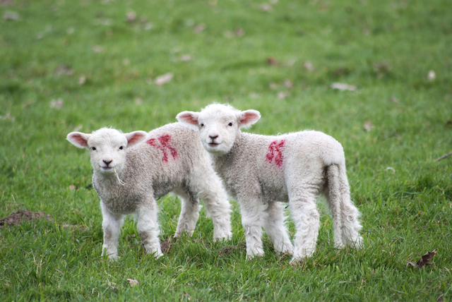three line tales week 63: two lambs with red markings