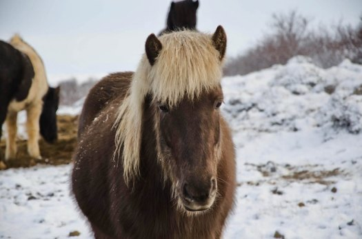 three line tales week 96: an Iceland pony in the snow