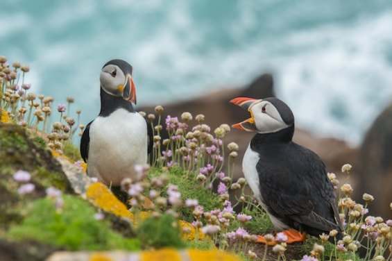 three line tales week 111: two puffins ; ireland st patrick's day