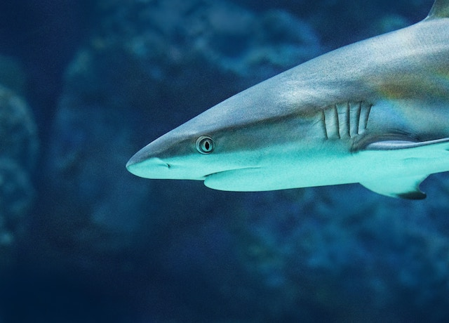 three line tales, week 118: a grey reef shark