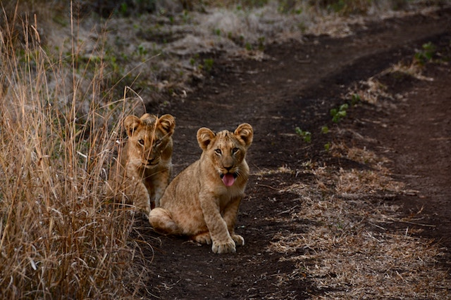 three line tales, week 133: two lion cubs staring at you like you're lunch