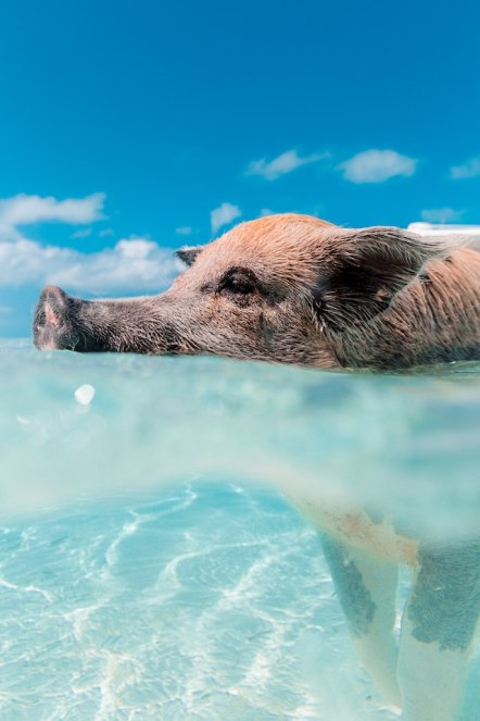 three line tales, week 199: a pig swimming in the ocean