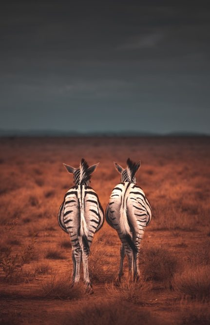 three line tales, week 216: two zebras on the plains